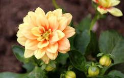 törpe dália (Dahlia pinnata)