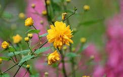 Boglárkacserje - Kerria japonica pleniflora