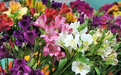 frézia tavaszi virág