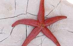 Tengeri csillag (Adria)