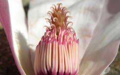 magnólia /liliomfa/ virágzat