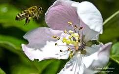 méhe birsalmafavirág
