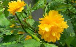 tavaszi virág boglárkacserje