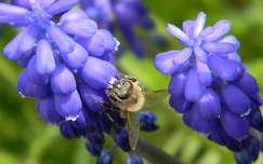 rovar fürtösgyöngyike méh