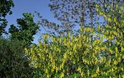 sárga akác