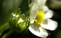 Harmatos szamóca virág