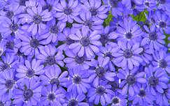 tavaszi virág cinerária