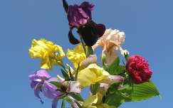 tavaszi virág névnap és születésnap írisz pünkösdi rózsa virágcsokor és dekoráció