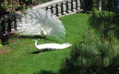 Fehér pávák Isola Bellán, Lago Maggiore, Olaszország