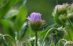 Évelő őszirózsa, de egész nyáron végig virágzik