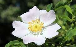 vadrózsa (Rosa canina)