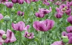 mákvirág virágmező