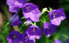 Kereklevelű harangvirág, anyák napjára
