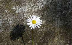 árnyék vadvirág százszorszép