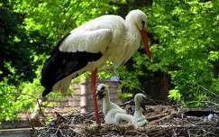 állatkölyök madár madárfióka gólya