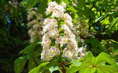 Vadgesztenye virága  - fotó: Kőszály
