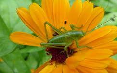 szöcske rovar körömvirág