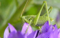 szöcske rovar