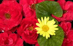 rózsák és margarétacserje virága