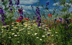 szarkaláb nyári virág vadvirág pipacs nyár kamilla