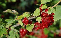 ribizli gyümölcs