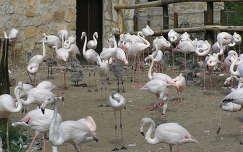 Flamingók csibéikkel a Budapesti Állatkertben