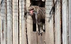 Magyarország, Zoo Győr, galléros pávián (Papio hamadryas)
