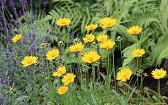 szépecske (Coreopsis grandiflora) és levendula (Lavandula angustifolia)