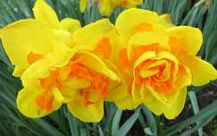 Holland Lisse, Keukenhof Narcissus double