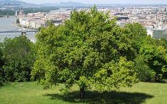 Fa a Gellért-hegyen, a háttérben Budapest