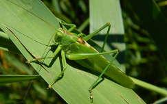 Zöld lombszöcske-Tettigonia viridissima,Fotó:Szolnoki Tibor