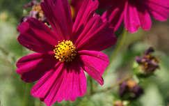 pillangóvirág nyári virág