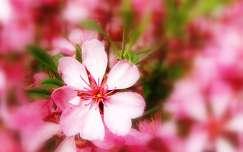 Törpemandula virága