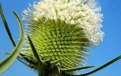 virágzó bogáncs