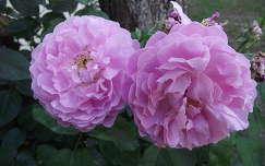 Rózsa. Fotó: Csonki