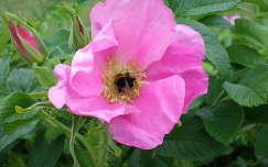Vadrózsa - bukfenc a virágporban