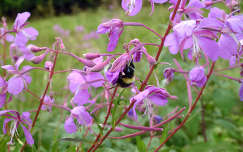 dongó vadvirág rovar