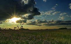 Sóvirág a hevesi pusztán