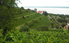 Badacsonyi szőlők