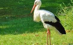 Fehér gólya,Fotó:Szolnoki Tibor