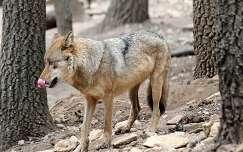 Magyarország, Budakeszi, Vadaspark, európai szürke farkas (Canis lupus lupus)