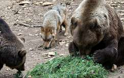 Magyarország, Budakeszi, Vadaspark, barna medve (Ursus arctos) és európai szürke farkas (Canis lupus lupus)