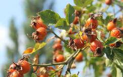 gyümölcs csipkebogyó