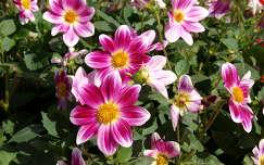 a vesaillesi kstély virágai,Franciaország