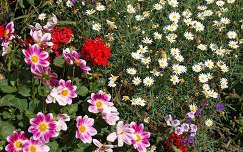 nyári virág dália muskátli
