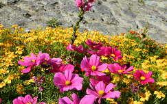 bársonyvirág pillangóvirág