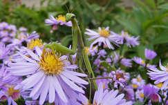 rovar imádkozósáska őszirózsa