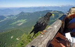 Csóka  a Berchtesgadeni Sasfészeknél Bajorország