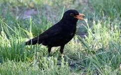 feketerigó