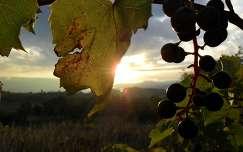 Szőlő a napfelkeltében